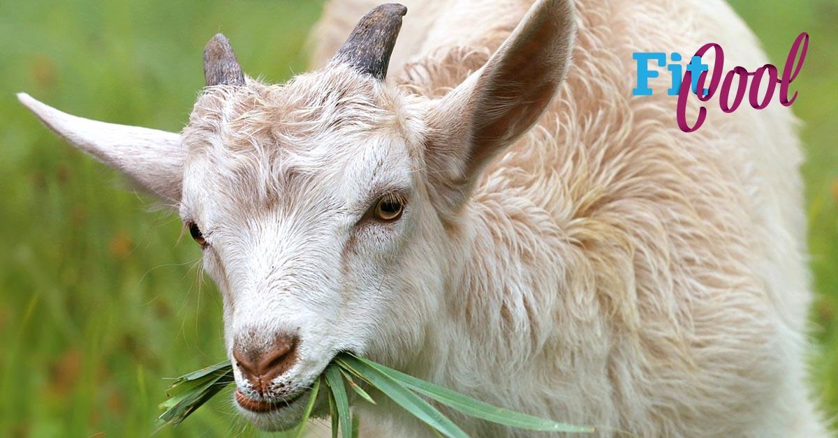 koza a kozie kolostrum ktoré sa vyrába z kozi