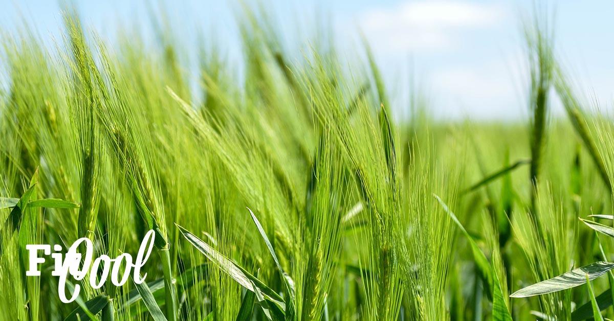 obilné pole z krorého sa vyrábajú zelené potraviny